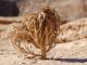 Rose de Jericho : l'incroyable renaissance d'une plante séchée