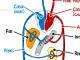 Le système cardio-vasculaire en détail