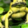 De petites grenouilles colorées au poison mortel