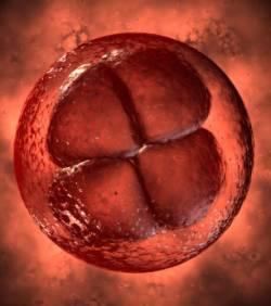 Cellule oeuf en division
