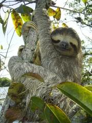 Paresseux dans un arbre