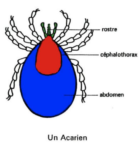 Anatomie acarien