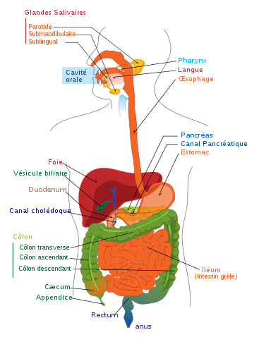 Schéma détaillé de l'appareil digestif