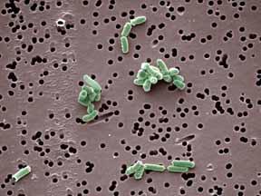 Vue au microscope d'une bactérie du genre Brevibacterium