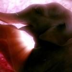 Éléphant in-utéro