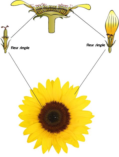 Retourner sur la page : la fleur vue en détail