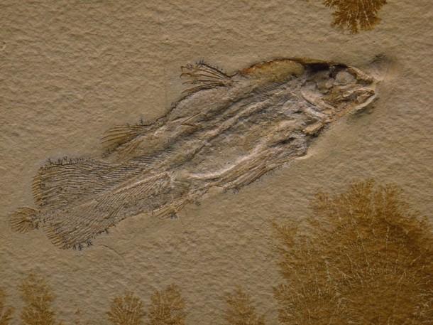 Fossile d'un cœlacanthe du jurassique