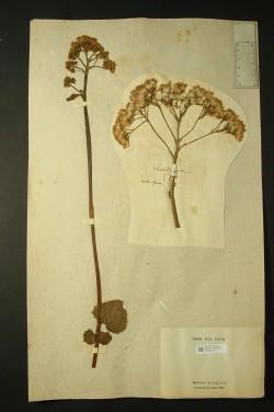 Une fiche de l'herbier de Jean-Baptiste de Lamarck
