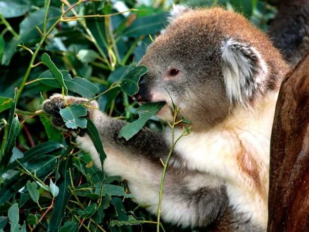 Un koala dans son eucalyptus