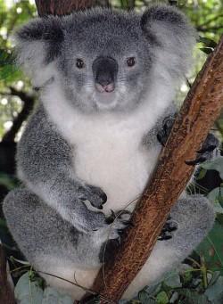 Koala femelle