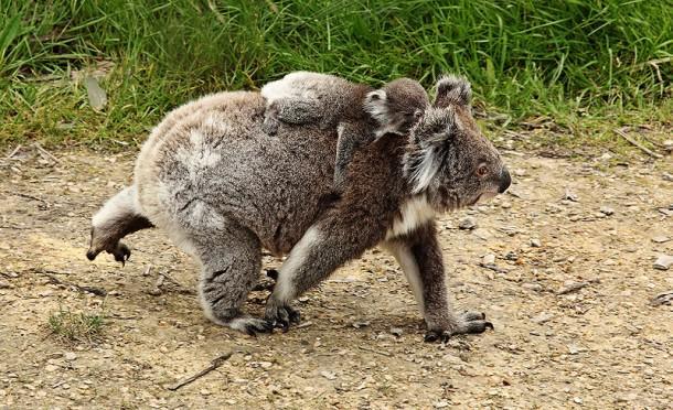 Un koala qui se déplace sur la terre