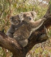 Une maman koala et son petit