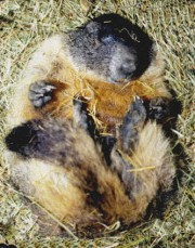 Marmotte hiberne