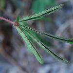 Mimosa pudica : feuilles fermées