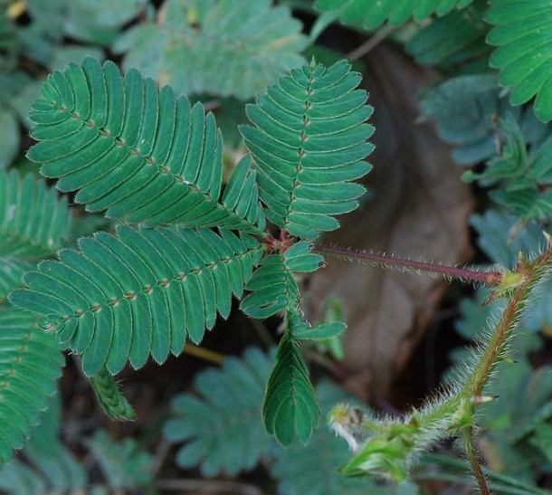 Mimosa pudica : feuilles ouvertes