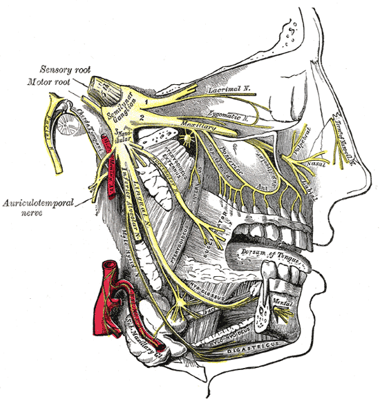 Schéma des nerfs du visage