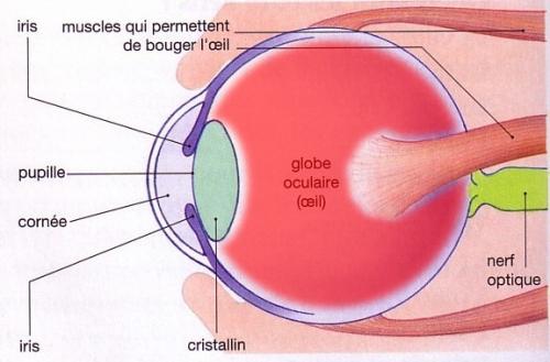 Schéma simplifié de l'œil