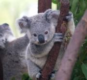 Un bébé koala