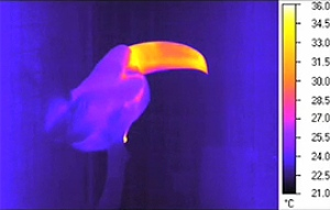 Photo thermique d'un toucan