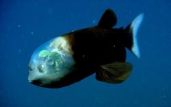 Barreleye : un poisson à la tête transparente
