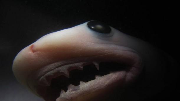 Requin in-utéro