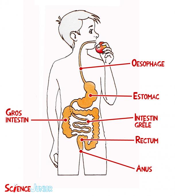 Schéma simplifié de l'appareil digestif