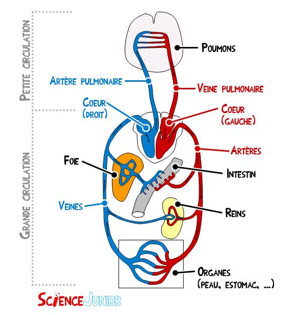 Schéma général du système cardio-vasculaire http://sciencejunior.fr/biologie/le-systeme-cardio-vasculaire-en-detail/attachment/schema-circulation-sanguine