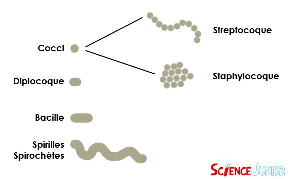 Schéma représentant les différentes formes de bactéries