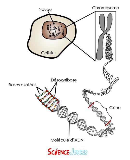 Représentation schématique d'une molécule d'ADN