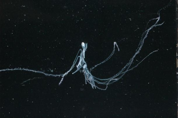 Un syphonophore : Rhizophysa filiformis
